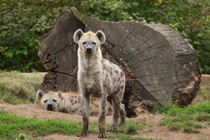 Eine Hyäne in Äthiopien