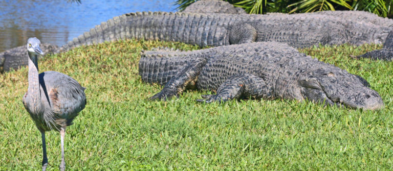 Alligators and the bird Gatorland Orlando shutterstock_133967156