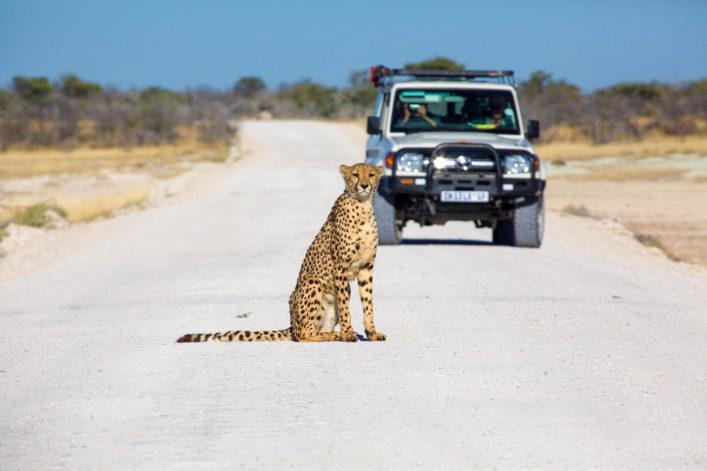 cheetah in the Etosha national park namibia shutterstock_399642748-2