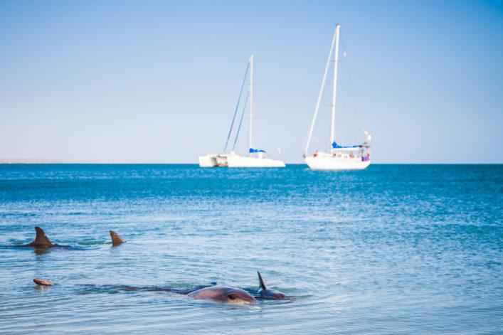 Dolphins and Sailing Ships Monkey Mia