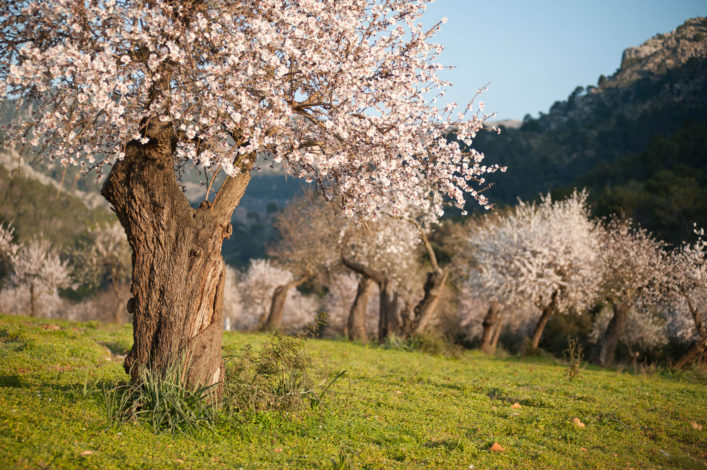 Almond grove in the spring time