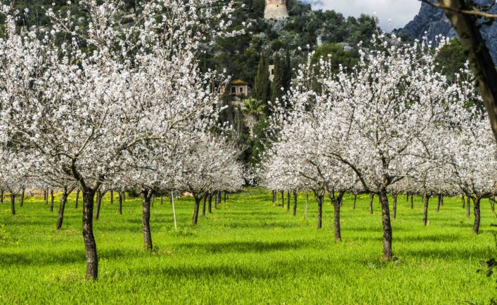 almond trees in a grassy field shutterstock_592820381-2
