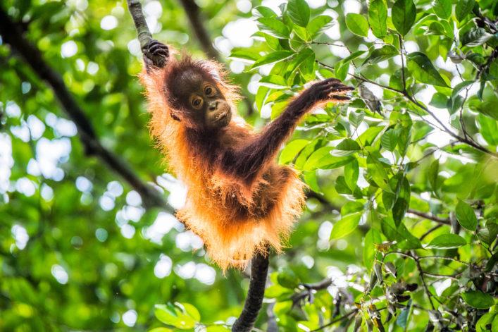 Orangutan cub on the tree.