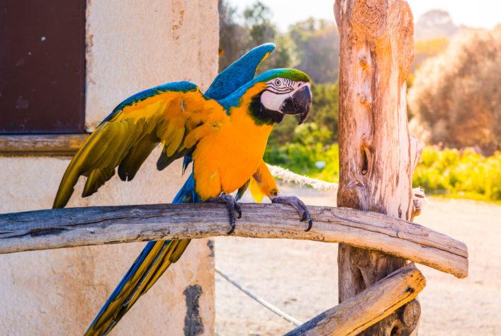 Papagei, Cala Millor, Porto Cristo