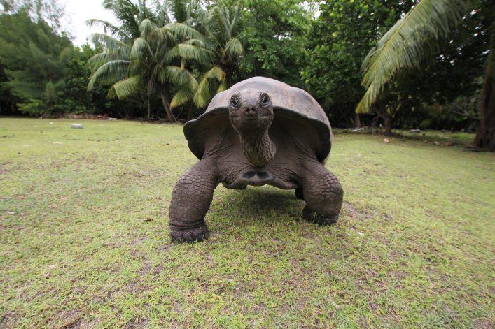 Riesenschildkröte, Botanischer Garten auf Mauritius