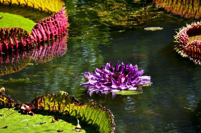 Botanischer Garten von Mauritius