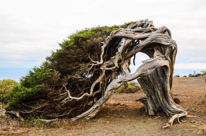 El Hierro Baum