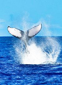 Walvissen spotten op Hawaii