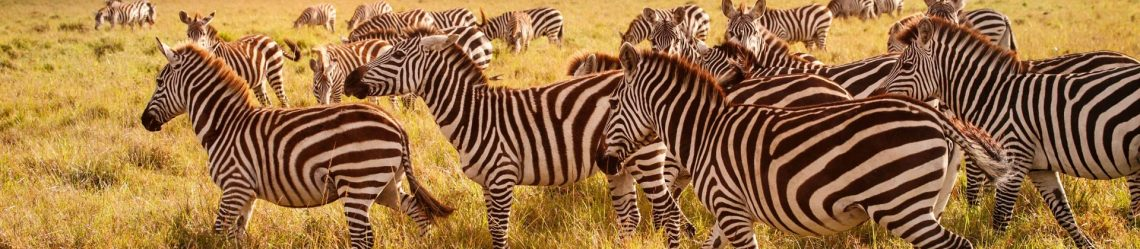 Zebras am Morgen iStock_22795487_XLARGE-2