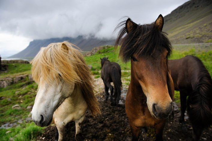 Island Roadtrip, Island Pferde, Westfjorde