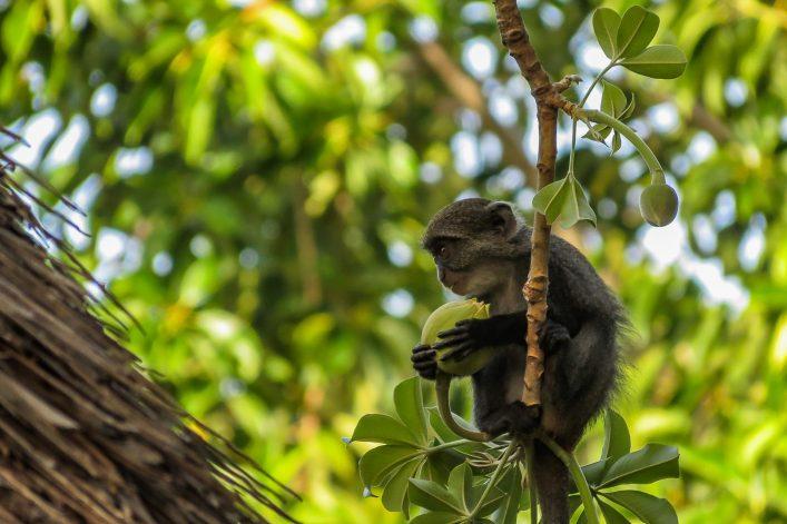 Little blue monkey eating baobab fruit