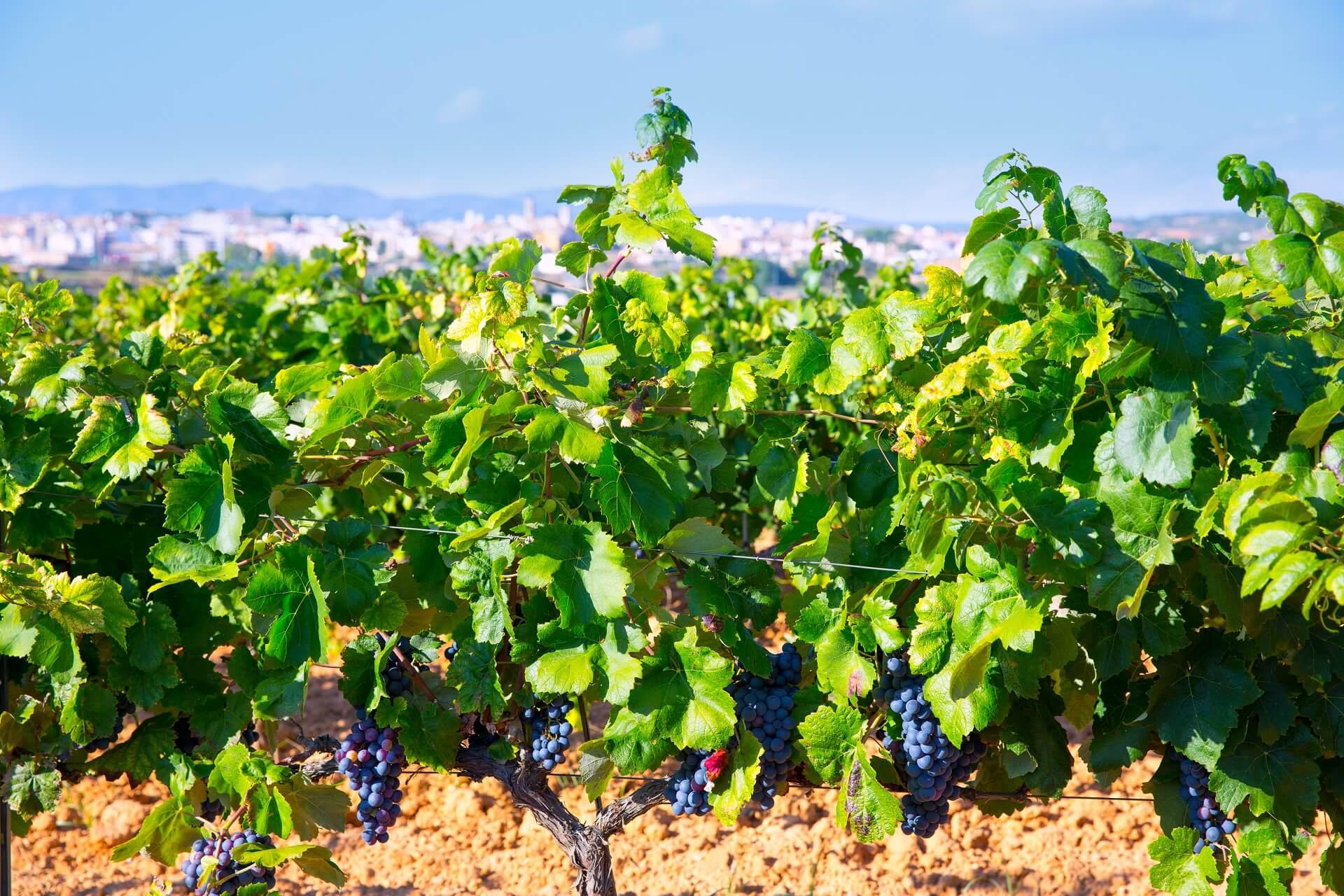 Valencia gehört zu den fruchtbarsten Weinregionen Spaniens
