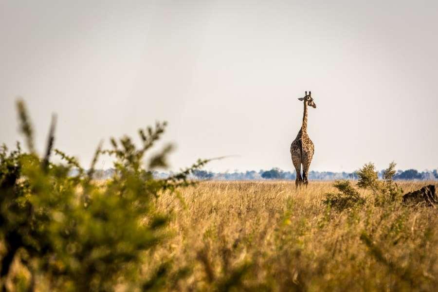 Een giraffe in Savuti, Botswana