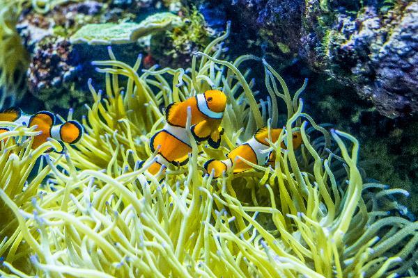 Nemo im Aquarium Singapur