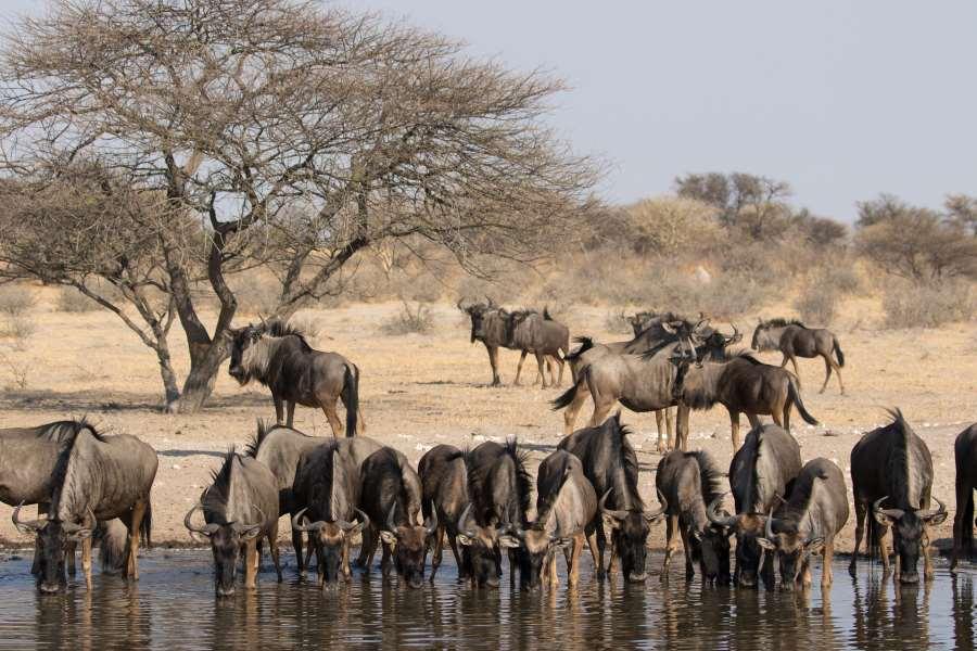 Gnoes bij een waterbron in de Kalahari, Botswana