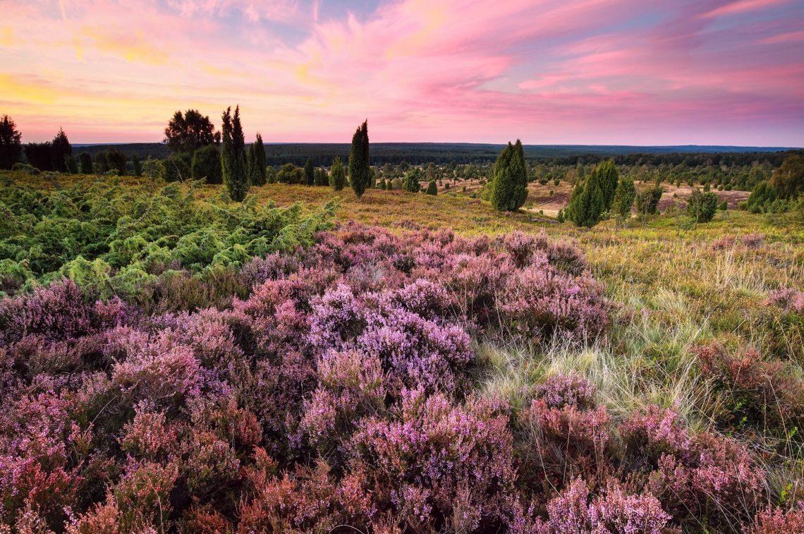 Die blühende Lüneburger Heide in Niedersachsen