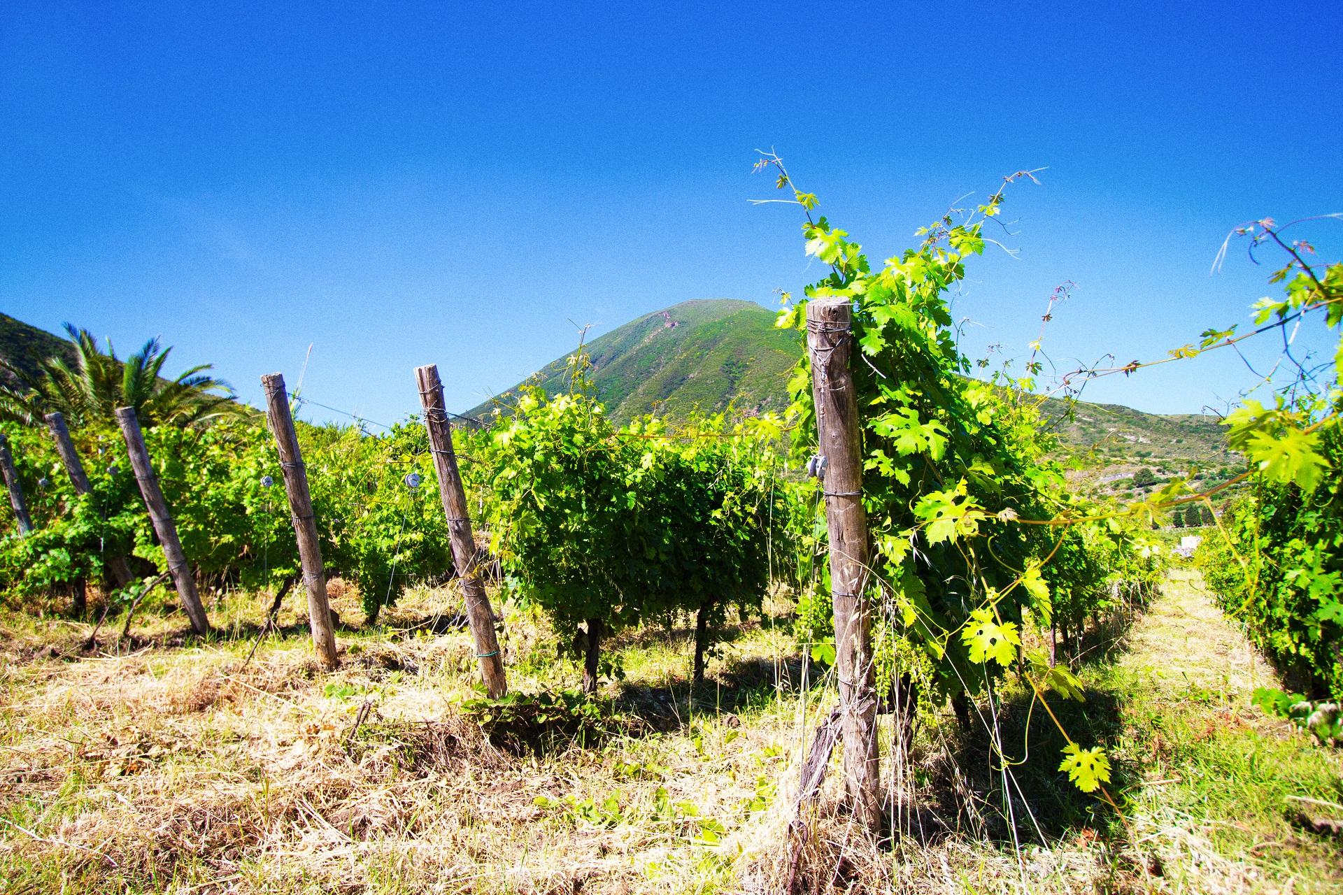 Die Weinfelder auf Salina mit den zwei Bergen im Hintergrund geben ein malerisches Bild ab.