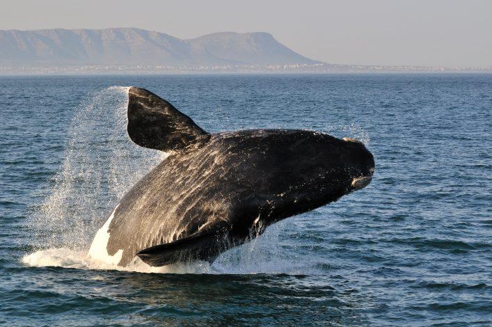 Südafrika Wildlife: Die Meeresriesen kommen zur Walsaison nach Hermanus