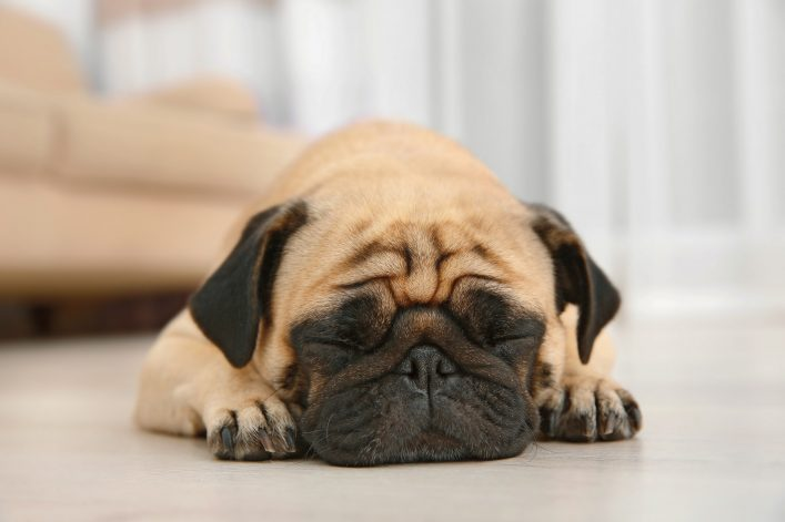 Adorable pug dog lying on floor at home shutterstock_538300024