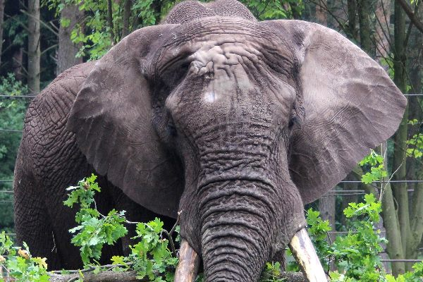 Elefant im Serengeti-park