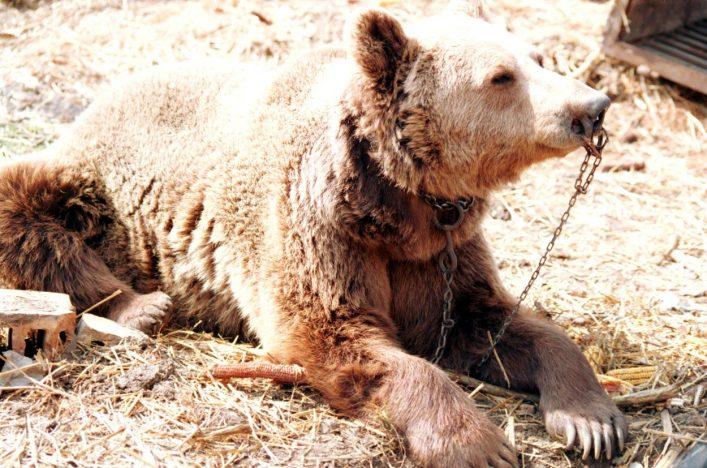 Ein Bär mit Nasenring vor der Befreiung