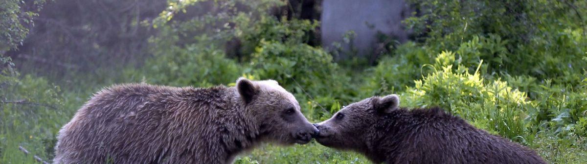 Zwei Bären im Tanzbärenpark Belitsa