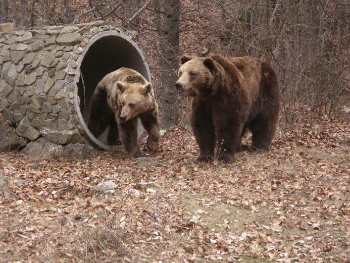 Zwei Bären im BÄRENPARK Belitsa