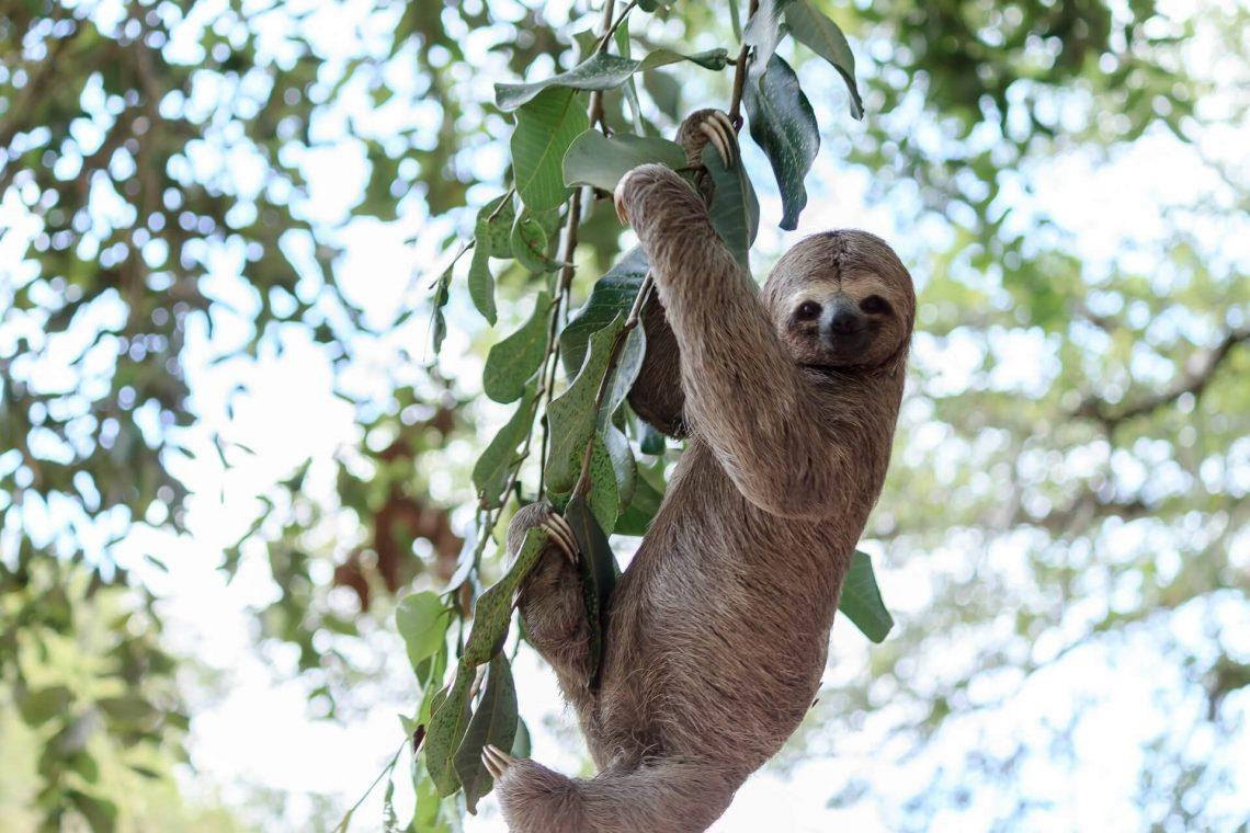 Ein Faultier hängt im Baum