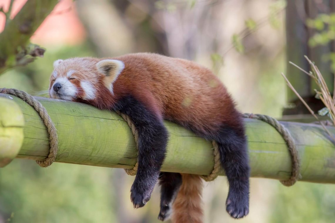 roter panda im zoo iStock-667782268