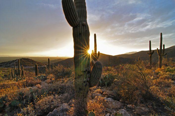 Kakteen in der Sonora-Wüste in Arizona
