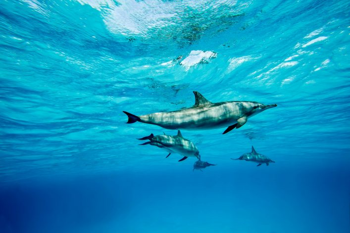 Dolphins swimming through the clear blue water