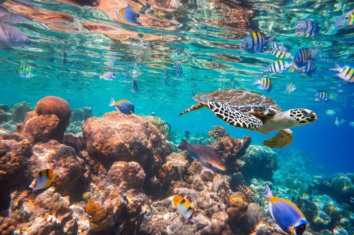 Schildkröte an einem Korallenriff beim Tauchen im Roten Meer